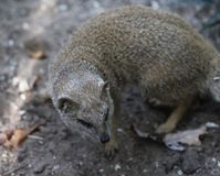 Yellow mongoose, Cynictis penicillata Royalty Free Stock Images