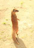 Yellow mongoose. (Cynictis penicillata, family  Herpestidae) begging on back feet on sand Royalty Free Stock Photography
