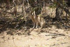 Yellow Mongoose, Cynictis penicillata,Gemsbok National Park, South Africa Royalty Free Stock Photo
