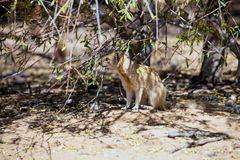 Yellow mongoose, Cynictis penicillata Stock Photos