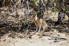 Yellow mongoose, Cynictis penicillata Stock Photos