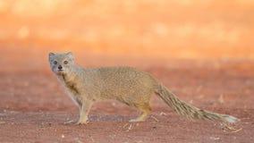 Yellow mongoose at sunset, Kalahari Desert, Namibia. Yellow mongoose (Cynictis penicillata), Kalahari Desert, Namibia stock photography