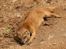Yellow mongoose - Cynictis penicillata - laying on the ground Stock Photography