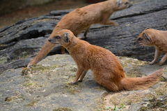 Yellow Mongoose (Cynictis penicillata). Mongooses (red meerkat) in the Prague ZOO Royalty Free Stock Images