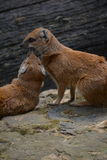 Yellow Mongoose (Cynictis penicillata). Mongooses (red meerkat) in the Prague ZOO Royalty Free Stock Image