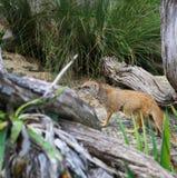 Yellow Mongoose Cynictis Penicillata Stock Photo