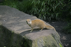 Yellow mongoose, Cynictis penicillata Royalty Free Stock Photography