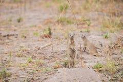 Yellow Mongoose. (Cynictis penicillata) standing alert in sandveld, Okavango Delta, Botswana stock photo