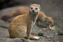 Yellow mongoose (Cynictis penicillata). Wildlife animal Stock Images