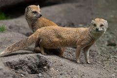 Yellow mongoose (Cynictis penicillata). Stock Images