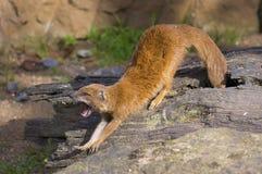 Yellow mongoose stock photography