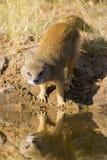 Yellow Mongoose drinks water from a waterhole in Kalahari desert Stock Photos