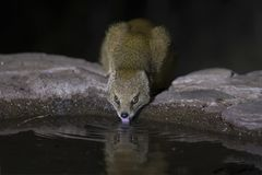 Yellow Mongoose drinks water from a waterhole in Kalahari desert Stock Image