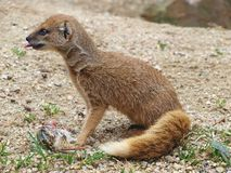 Yellow mongoose eating Stock Images