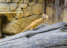 Yellow mongoose fox in his cage Royalty Free Stock Images