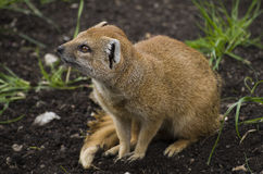 Yellow mongoose. On the ground with fresh grass Stock Photos