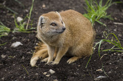 Yellow mongoose Royalty Free Stock Image