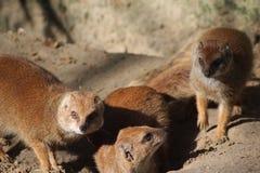 Yellow mongoose group Stock Photography