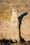 Yellow Mongoose on hind Legs. Stock Images