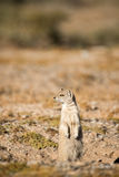 Yellow Mongoose on Hind Legs Royalty Free Stock Images