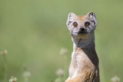 Yellow Mongoose hunting for prey on short green grass Royalty Free Stock Photography