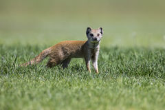 Yellow Mongoose hunting for prey on short green grass Royalty Free Stock Images