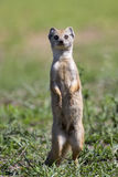 Yellow Mongoose hunting for prey on short green grass Stock Photography