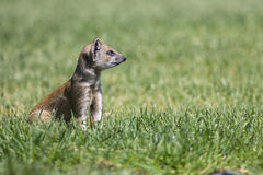 Yellow Mongoose hunting for prey on short green grass Stock Images