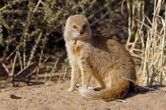 Yellow mongoose, Kalahari desert. Yellow mongoose next to entrance to its hole in the ground, Kgalagadi Transfrontier Park, Kalahari desert, South Africa Royalty Free Stock Photo