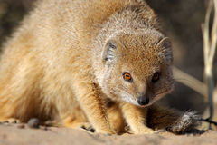 Yellow mongoose, Kalahari desert Royalty Free Stock Photos