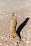 Yellow mongoose, Kalahari desert, South Africa Stock Images