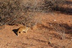 Yellow mongoose, Kalahari desert, South Africa Royalty Free Stock Photography
