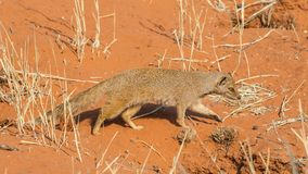 Yellow Mongoose. A yellow mongoose in the Kgalagadi Transfrontier Park, situated in the Kalahari Desert which straddles South Africa and Botswana Stock Photo