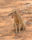 Yellow Mongoose. A yellow mongoose in the Kgalagadi Transfrontier Park, situated in the Kalahari Desert which straddles South Africa and Botswana Stock Images