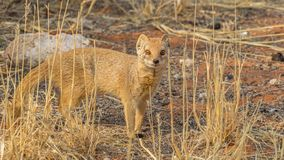 Yellow Mongoose. A yellow mongoose in the Kgalagadi Transfrontier Park, situated in the Kalahari Desert which straddles South Africa and Botswana Stock Photos