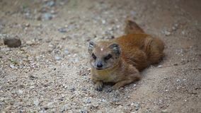 Yellow mongoose l Stock Image