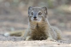 Yellow Mongoose lie down to rest on the Kalahari desert sand in. The shade Royalty Free Stock Photo