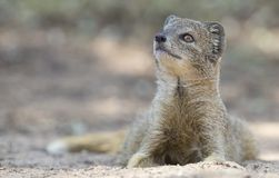 Yellow Mongoose lie down to rest on the Kalahari desert sand in. The shade Royalty Free Stock Photos