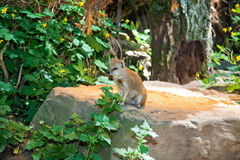 Yellow Mongoose on a log Royalty Free Stock Photos