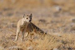 Yellow mongoose is looking, etosha nationalpark, namibia. Cynitis pinicillata Royalty Free Stock Photos