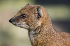 Yellow mongoose looking to the left Stock Image