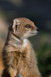 Yellow mongoose looking to the right Royalty Free Stock Photos