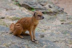 Yellow mongoose lurking on the stone Stock Photos