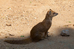 Yellow mongoose lurking at sunset Royalty Free Stock Photography