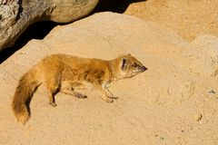 Yellow mongoose. Mongoose lying in sand and resting Royalty Free Stock Photos