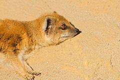 Yellow mongoose. Mongoose lying in sand and resting Stock Photo
