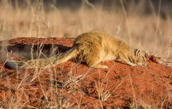 Yellow Mongoose. A Yellow Mongoose lying on a termite mound in Southern African savanna Stock Photo