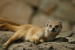 Yellow mongoose lying on a tree Stock Photo