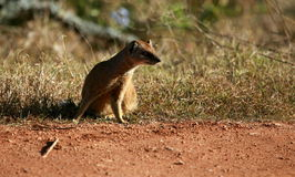 A yellow mongoose / meerkat Royalty Free Stock Photos