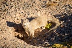 Yellow Mongoose near Hole Stock Images